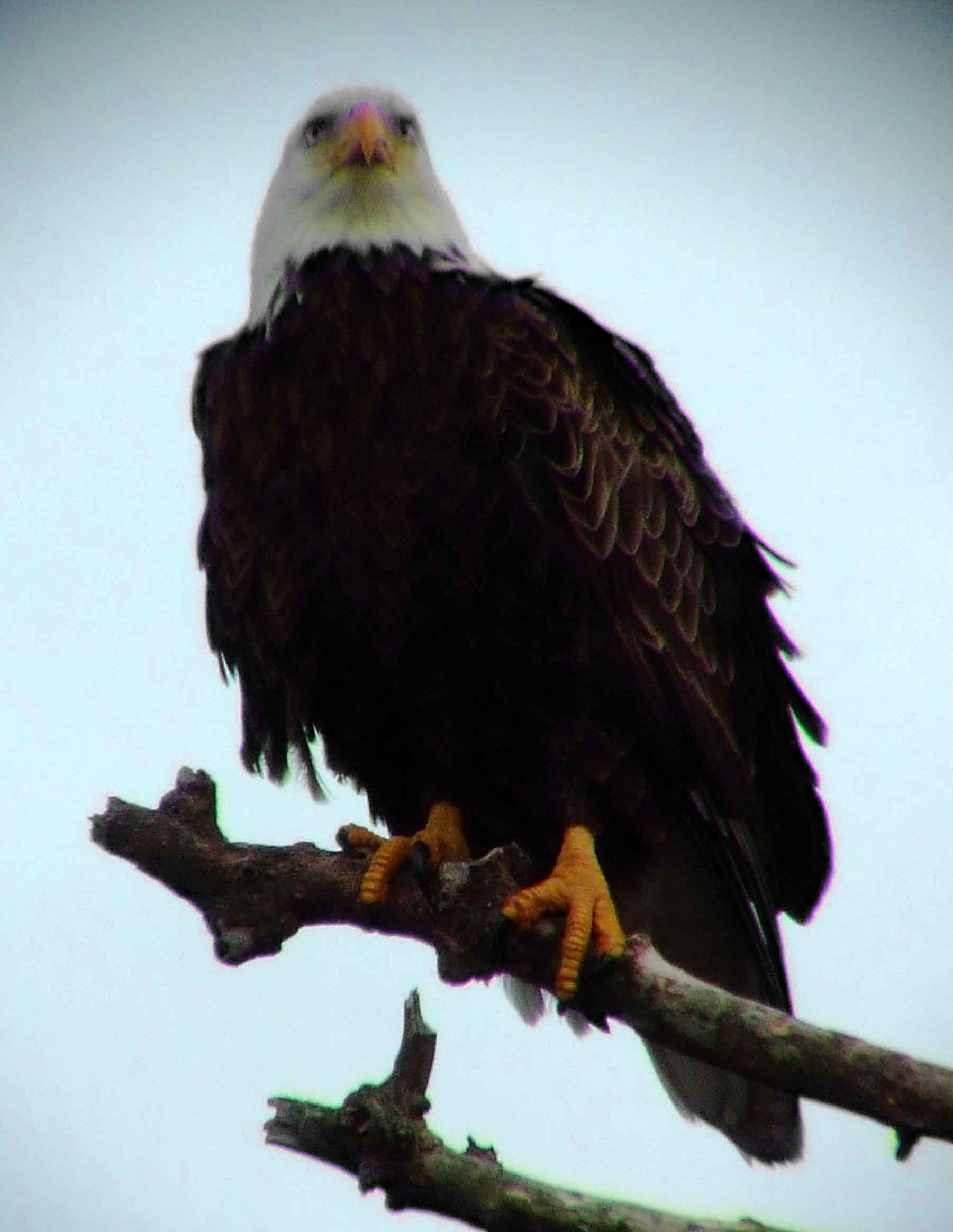 an overview of the bald eagle species of the american bird